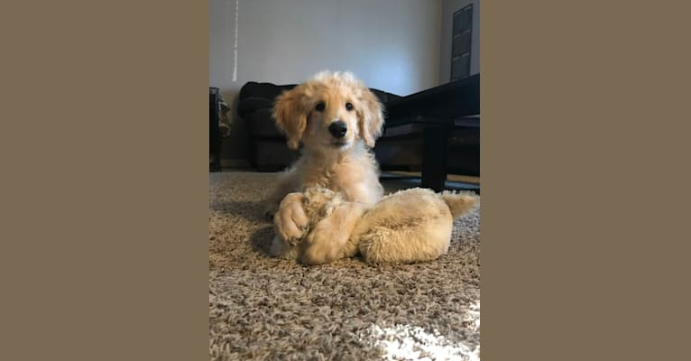 Photo of Charlie, a Goldendoodle  in Redding, California, USA