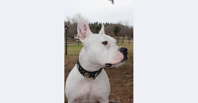 Photo of Millenium (Big M), a Staffordshire Terrier  in Plympton, Massachusetts, USA