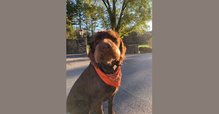 Photo of Charlie, a Labradoodle  in Lancaster, PA, USA
