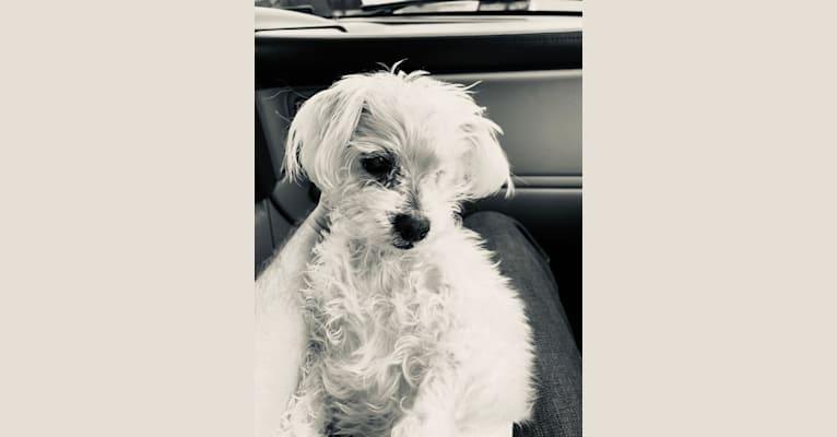 Photo of Baxter, a Maltese  in Orlando, Florida, USA