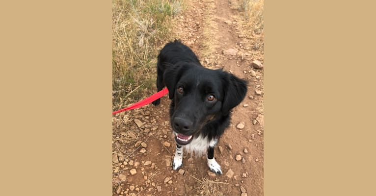 Photo of Ringo, a Miniature/MAS-type Australian Shepherd mix in Fort Collins, Colorado, USA