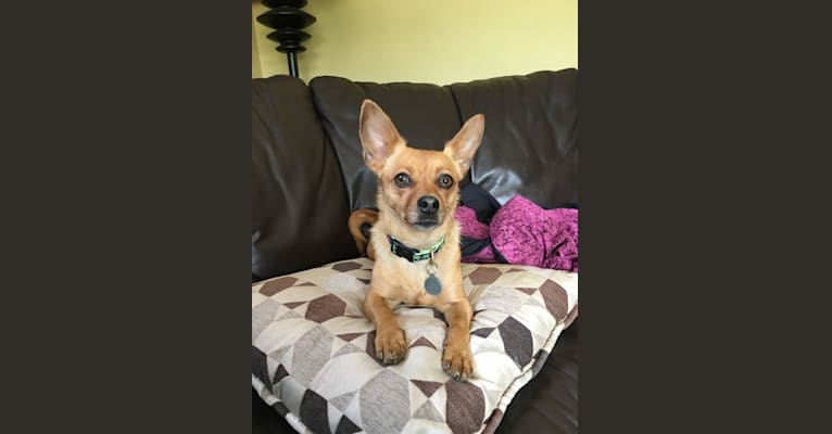 Photo of Annie, a Yorkshire Terrier, Chihuahua, Dachshund, and Pekingese mix in Rhode Island, USA