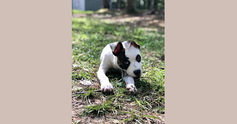 Photo of River, an American Pit Bull Terrier, Australian Cattle Dog, Boxer, German Shepherd Dog, and Mixed mix in Chapel Hill, North Carolina, USA