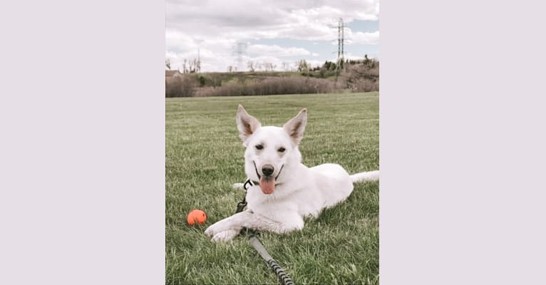 Photo of Chance, an American Eskimo Dog, Australian Cattle Dog, Beagle, Siberian Husky, and Mixed mix in Oklahoma, USA