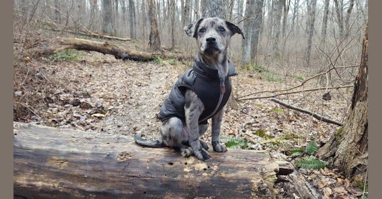 Photo of Watson, a German Shepherd Dog, American Pit Bull Terrier, Labrador Retriever, Australian Shepherd, and Mixed mix in Tupelo, MS, USA