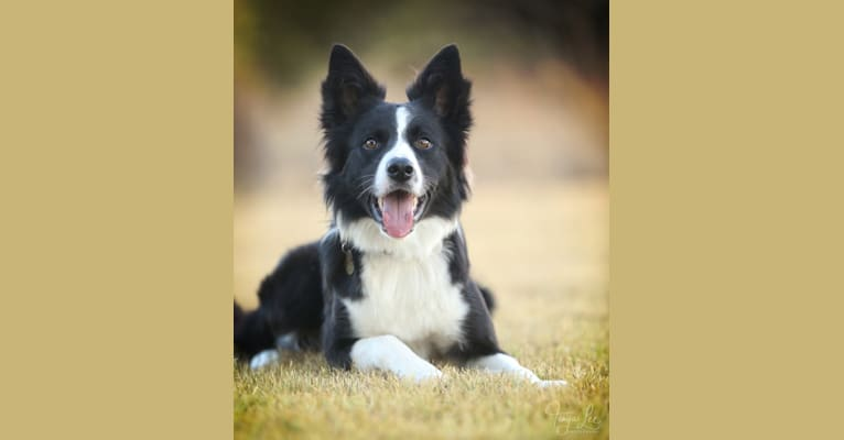 "Photo of Shine On's A Great Deal of Bravery ""Neville"", a Border Collie  in Sturbridge, MA, USA"