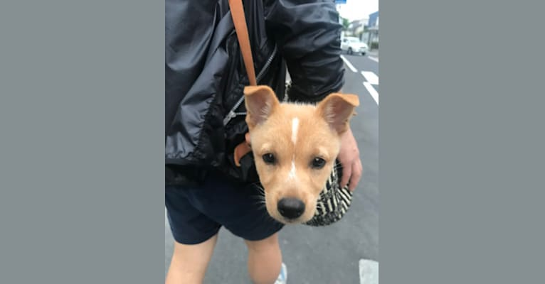 Photo of Dice, a Japanese and Korean Village Dog and Shiba Inu mix in 丸亀市, 香川県, 日本