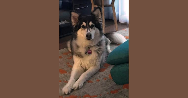Photo of SHEEVA ROSE, a Collie, German Shepherd Dog, Siberian Husky, Samoyed, and Golden Retriever mix