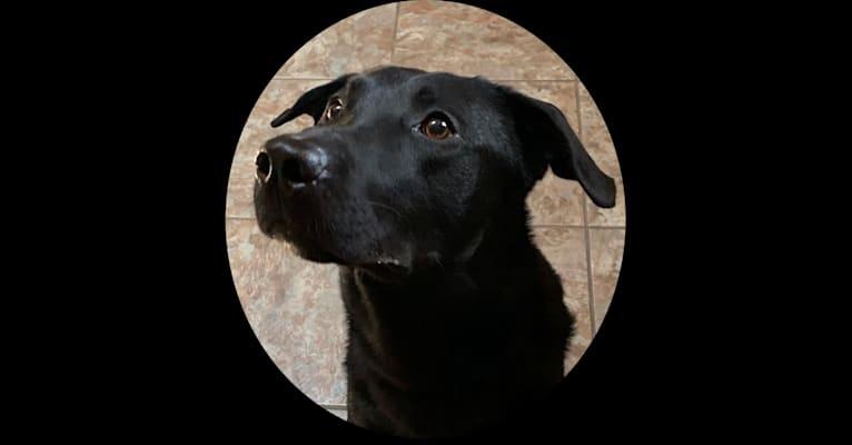 Photo of Bode, a Labrador Retriever mix in Salisbury, Maryland, USA