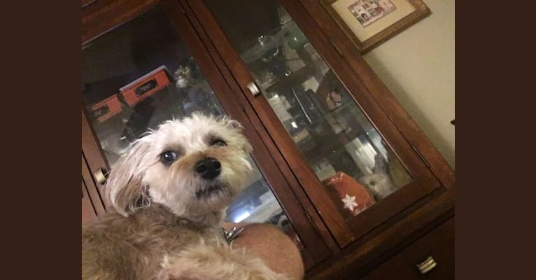 Photo of Ginger, a Poodle (Small), Yorkshire Terrier, Chihuahua, and Mixed mix in California, USA