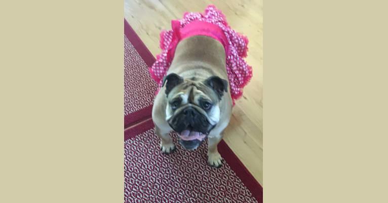 Photo of Matilda, a Bulldog  in Villa Park, IL, USA