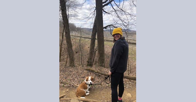 Photo of Banjo, an Australian Cattle Dog, Australian Shepherd, American Pit Bull Terrier, Labrador Retriever, and Mixed mix in Louisville, Kentucky, USA