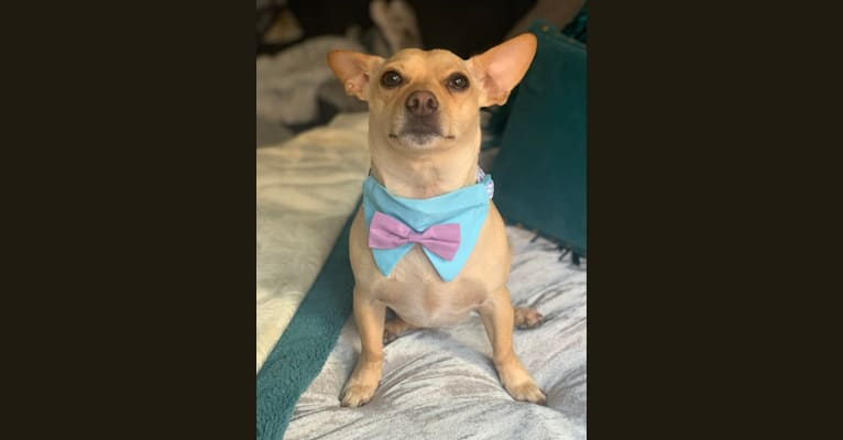 Photo of Bruce, a Chihuahua, Dachshund, and Mixed mix in Texas, USA