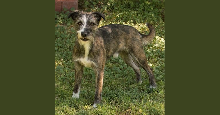 Photo of Gee, a Border Collie, Whippet, Border Terrier, Staffordshire Bull Terrier, and Russell-type Terrier mix in Pahrump, NV, USA