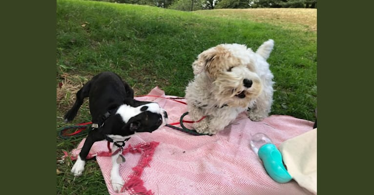 Photo of Pippa, a Sealyham Terrier  in New York, New York, USA