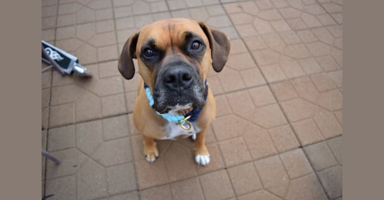 Photo of Cosmo, a Boxer mix in San Diego, California, USA