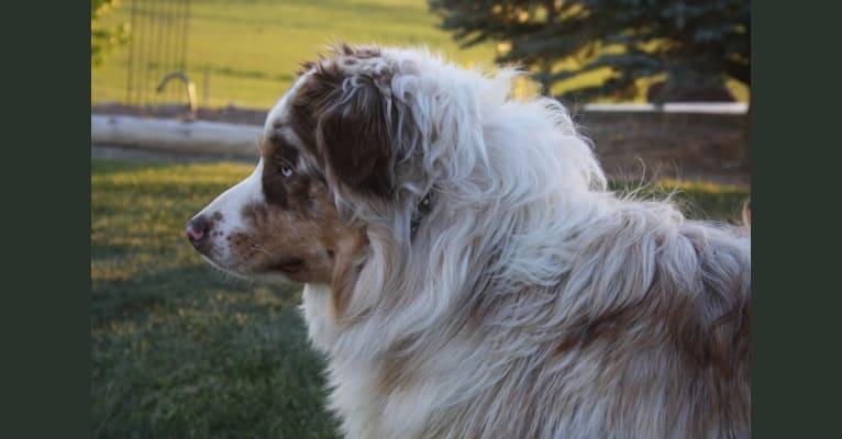 Photo of Buck, an Australian Shepherd Group