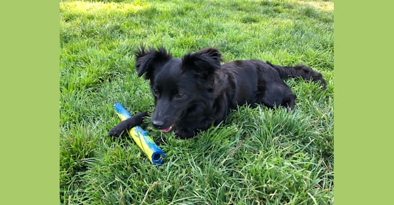Photo of Jasper, a Poodle (Small), Chihuahua, Pomeranian, and Mixed mix in Stockton, California, USA