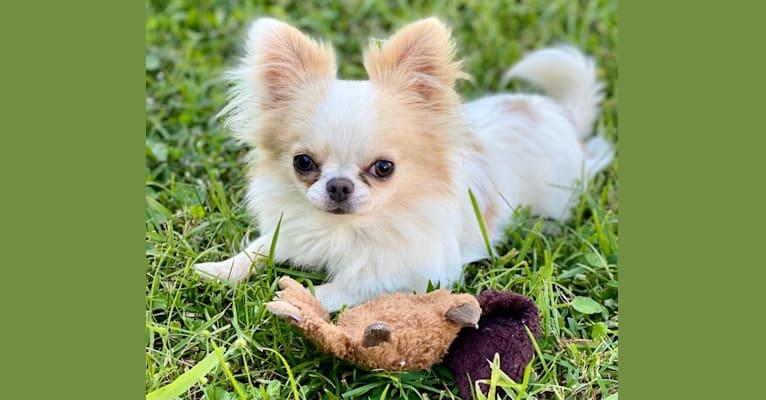 Photo of Bennett, a Chihuahua