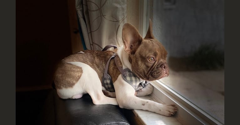 Photo of Winston, a French Bulldog  in Ukraine