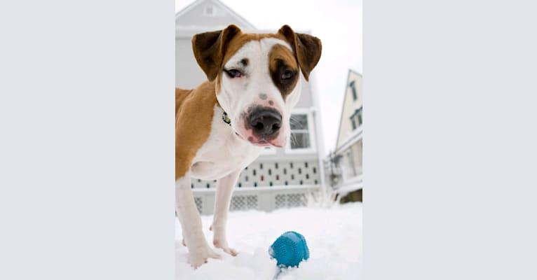 Photo of Oliver (Oli), an American Pit Bull Terrier  in Lynn, Massachusetts, USA