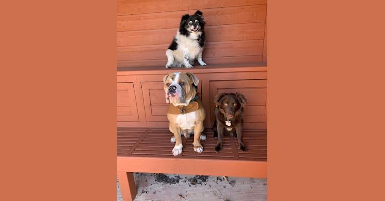 Photo of Norman, a Bulldog and American Bulldog mix