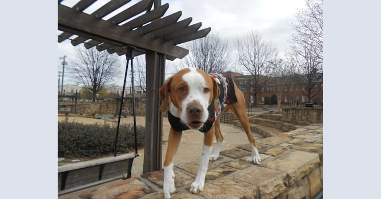 Photo of Ace Boogie, an American Pit Bull Terrier, American Foxhound, and Beagle mix in Charlotte, North Carolina, USA