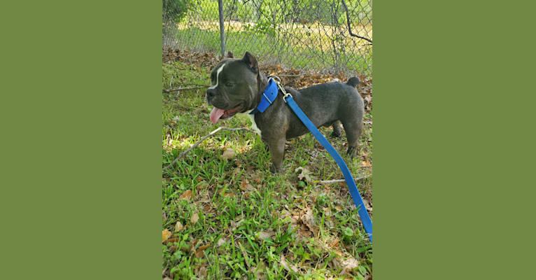 Photo of Lucas, an American Bully  in Houston, TX, USA