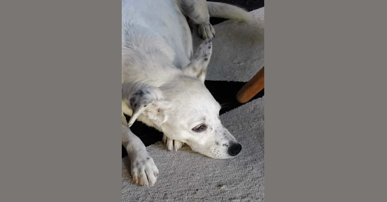 Photo of Livia, an European Village Dog and Brittany mix in Campania, Italy