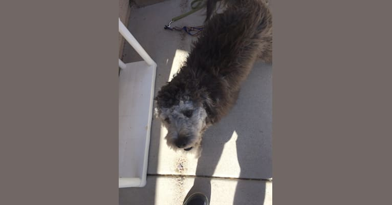 Photo of Charley, a Poodle (Small), Rat Terrier, Cocker Spaniel, and Mixed mix in Tucson, Arizona, USA