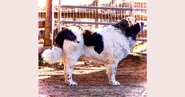 Photo of Lois Mamariga, a Pyrenean Mastiff  in Spain