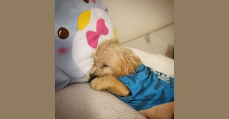 Photo of Chance, a Yorkshire Terrier, Shih Tzu, Pomeranian, Poodle (Small), and Mixed mix in Miami, Florida, USA