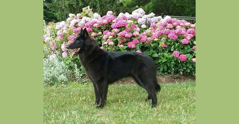 Photo of Gem, a Belgian Shepherd  in Canton, OH, USA