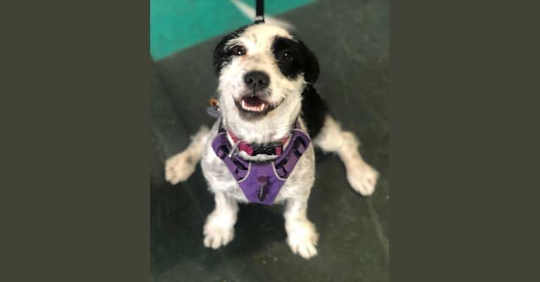 Photo of Liza Jane, an American Pit Bull Terrier and Shih Tzu mix in Caddo Parish Animal Shelter, Monty Street, Shreveport, LA, USA