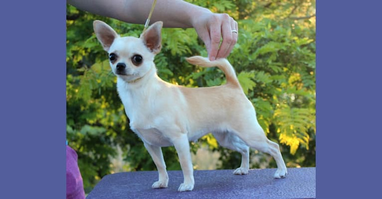 Photo of Goody, a Chihuahua