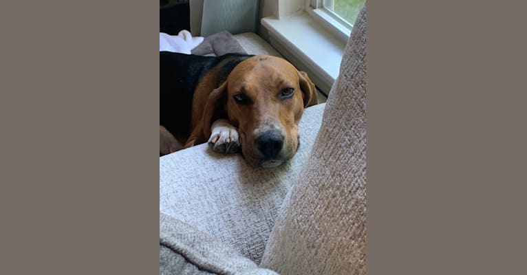 Photo of Scout, a Treeing Walker Coonhound  in Weymouth, Massachusetts, USA