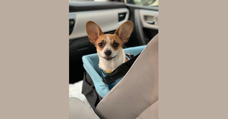 """Photo of Oliver """"Po"""", a Chihuahua, Miniature Pinscher, Poodle (Small), and Mixed mix in Los Angeles, California, USA"""
