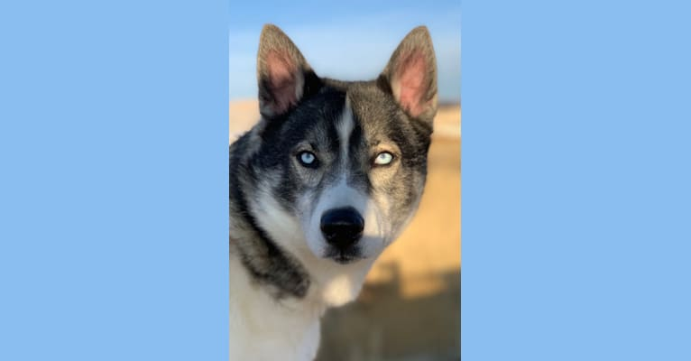 Photo of Tikaani, a Siberian Husky, Alaskan Malamute, and Alaskan-type Husky mix in Utah, USA