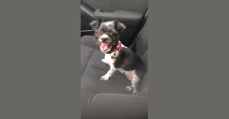 Photo of Sadie, a Shih Tzu, Chihuahua, Rat Terrier, and Poodle (Small) mix