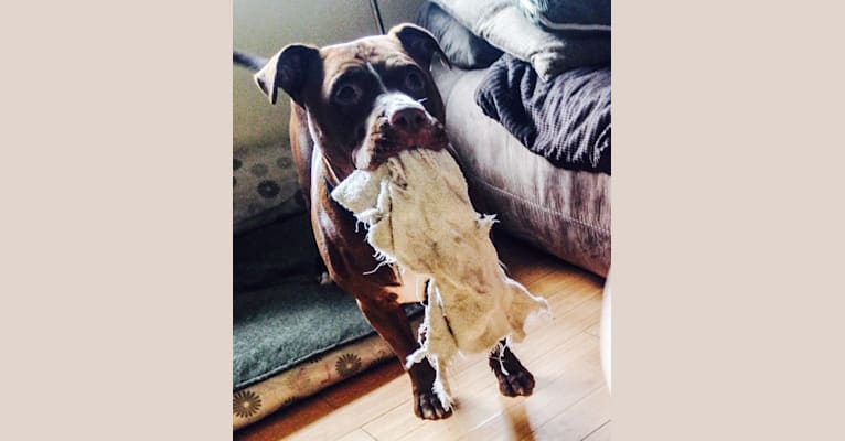 Photo of Deebo, an American Pit Bull Terrier and American Staffordshire Terrier mix in Los Angeles, California, USA