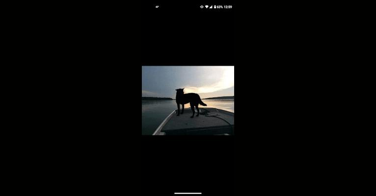 Photo of Kodi, an Australian Cattle Dog, Chow Chow, and Labrador Retriever mix in Bolivar, Missouri, USA