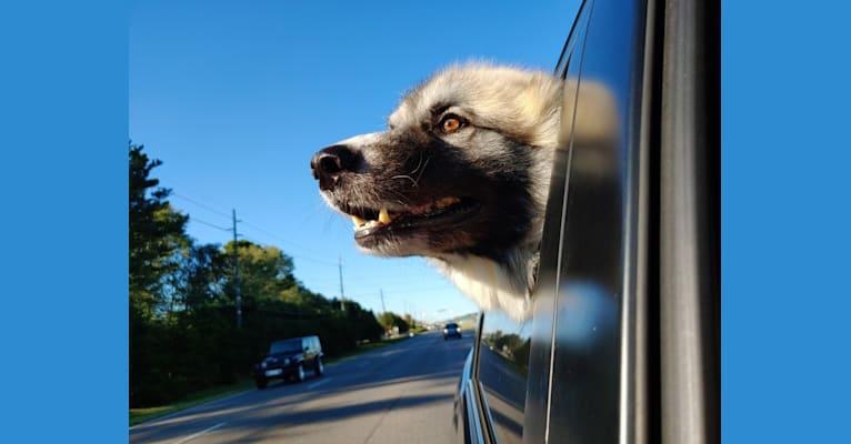 Photo of Monster, a Great Pyrenees, Alaskan Malamute, and German Shepherd Dog mix in Huntsville, Alabama, USA