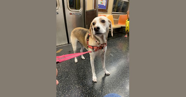 Photo of Daphne, an American Foxhound, English Foxhound, Labrador Retriever, German Shepherd Dog, and Mixed mix in New York, USA