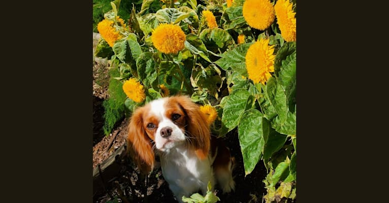 Photo of Princess Amelia the First (Millie), a Cavalier King Charles Spaniel  in Red Deer, Alberta, Canada
