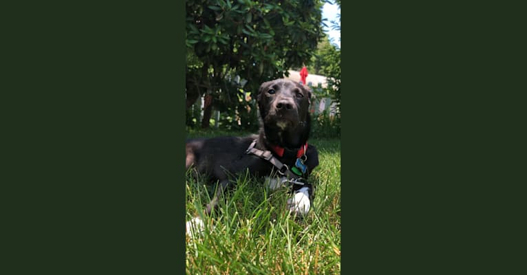 Photo of Luna, a Rat Terrier, Chihuahua, Dachshund, American Pit Bull Terrier, Chow Chow, and Mixed mix in Georgia, USA