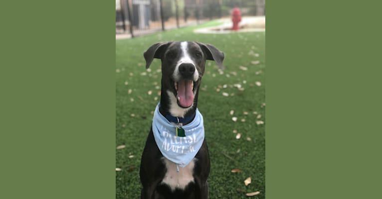 Photo of Sam, a Doberman Pinscher, American Pit Bull Terrier, and Labrador Retriever mix in Dallas, Texas, USA