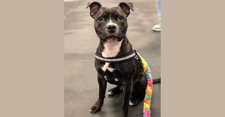 Photo of Player, a Staffordshire Bull Terrier  in Maricopa, AZ, USA