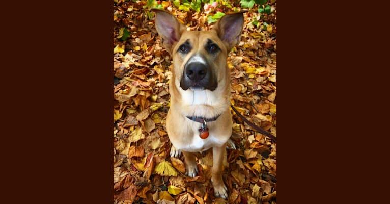 Photo of Art, a German Shepherd Dog, American Pit Bull Terrier, Saint Bernard, and Mixed mix in South Dakota, USA