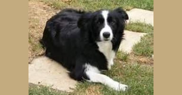 Photo of Dusty Blu, a Border Collie  in Chase, MI, USA
