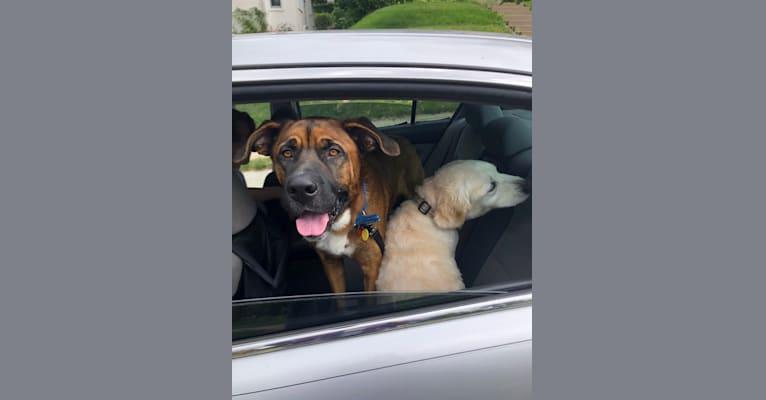 Photo of Finn, a Saint Bernard, English Shepherd, Great Pyrenees, and German Shepherd Dog mix in Arkansas, USA
